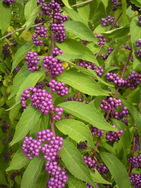 shrubs with purple berries pin by sharma howard on sharma s garden pinterest