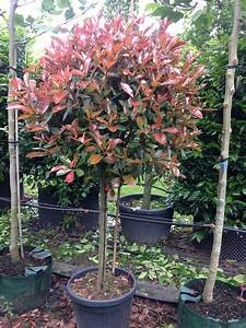 Photinia Red Robin : photinia red robin green mile trees green mile trees ~ Michelbontemps.com Haus und Dekorationen