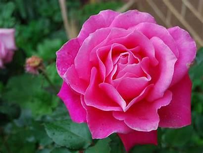 Pink Rose Roses Wallpapers Flowers Yellow Desktop