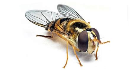 hover fly active pest control