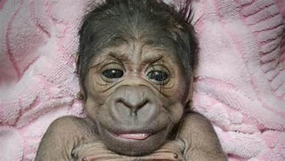 Gorilla Zoo Adorable Born Oklahoma San Francisco
