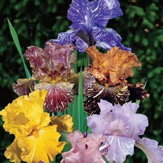 1000 images about irises on