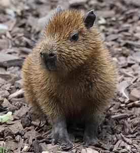 Baby capybara | Flickr - Photo Sharing!