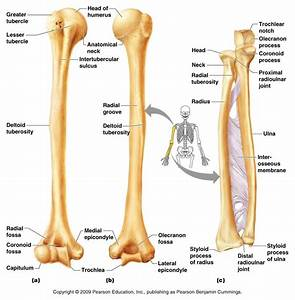 Human Anatomy: Images Gallery Examples Of Ulna Anatomy ...