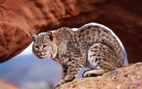 bobcat wallpapers backgrounds