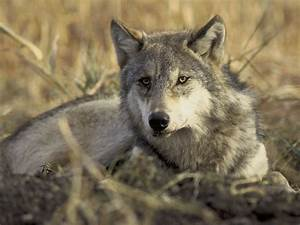 All about animals: Gray Wolf, now our Best Friend?