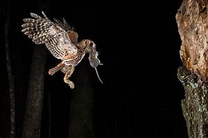 Photographing the Eastern Screech Owl
