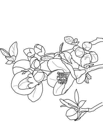 quince flower coloring page  printable coloring pages