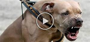 Top 10 Strongest attack dogs in the world - Doggies Care