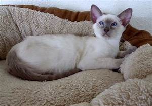 SIAMESE LILAC POINT MALE KITTEN | Worcester ...