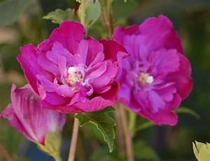 Hibiscus Syriacus Purple Ruffles Double Flowered Rose Of
