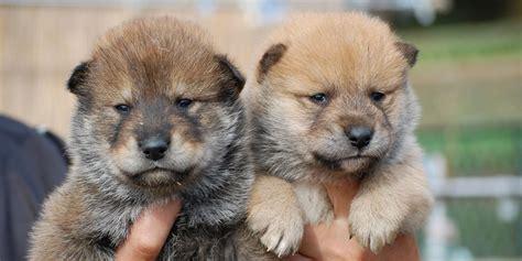 shikoku dog information characteristics facts names