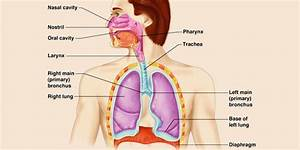 1 1 Anatomy And Physiology Of Respiratory System