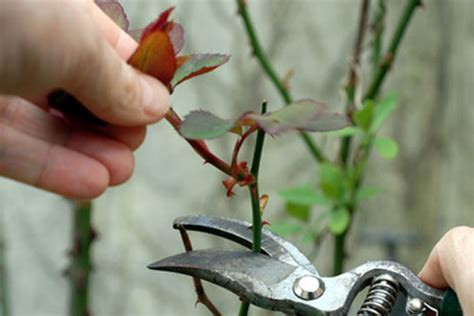 when to trim roses how to prune knockout roses how to purne hq