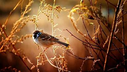 Nature Flowers Sparrow Branches Birds Trees Wild