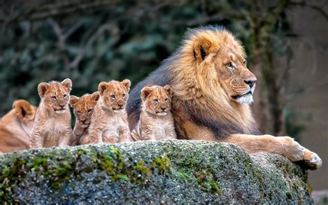 Lion, Nature, Animals, Baby Animals Wallpapers Hd  Desktop And Mobile Backgrounds