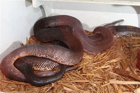 kingsnake blog Kingsnake.com Blog - Savu Pythons