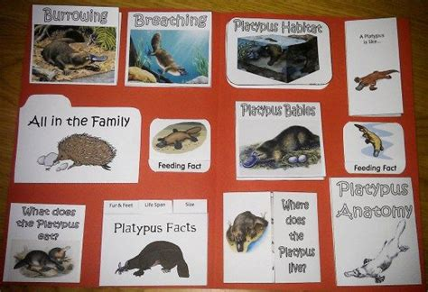 platypus lapbook australia platypus animal habitats australia