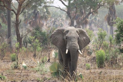 crepuscular nocturnal diurnal elephants loxodonta