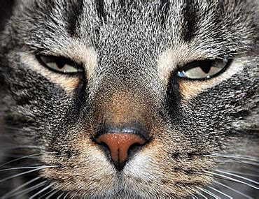feline panleukopenia distemper dangerous