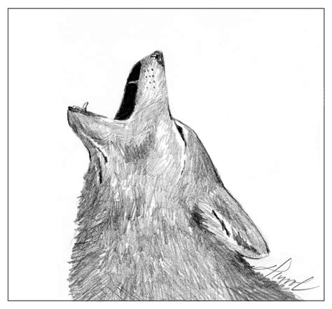 Coyotes Decoding Their Yips Barks And Howls The