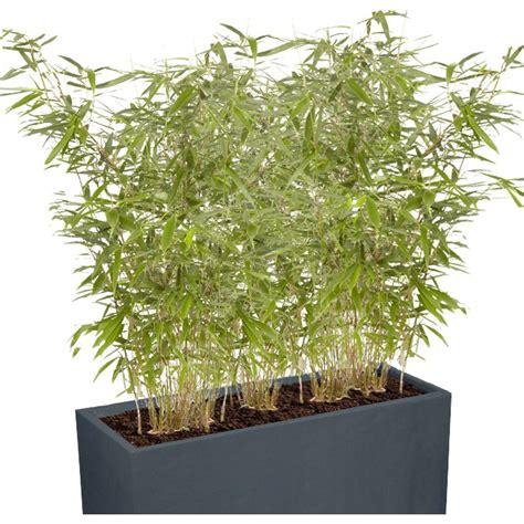 haie brise vue balcon bambou dor 233 phyllostachys aurea en