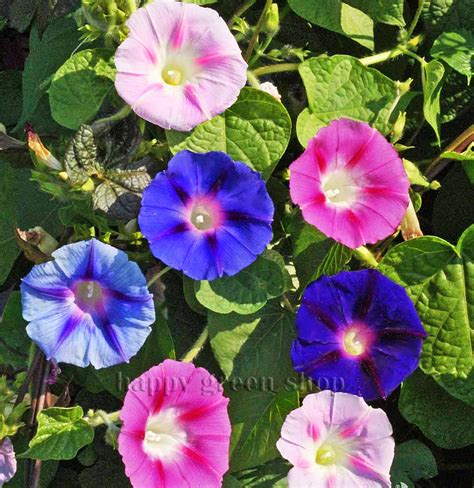 Morning Glory Mix  Ipomoea Tricolor 160 Seeds Annual