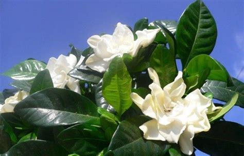 Gardenia Allergy by Gardenia Come Coltivare E Far Crescere Questa Pianta