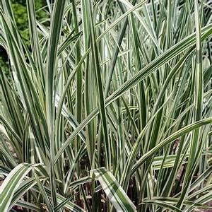 Miscanthus Sinensis Variegatus : miscanthus sinensis 39 variegatus 39 variegated silver grass from midwest groundcovers ~ Eleganceandgraceweddings.com Haus und Dekorationen