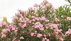 Laurier Rose Entretien : laurier rose plantation entretien c t maison ~ Melissatoandfro.com Idées de Décoration