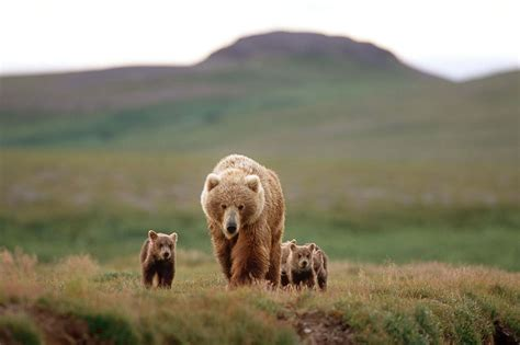 Brown Bears Use Human Shield To Protect Their Cubs