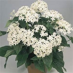 white Flower Pentas, Star Flower, Star Cluster photo ...