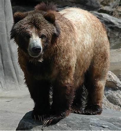 Bear Grizzly North America Animal Wallpapers Animals
