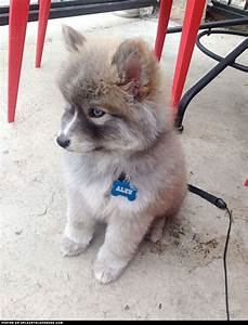 The gallery for --> Husky And Pomeranian Mix Full Grown