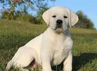 Labrador White Lab Puppies for Sale