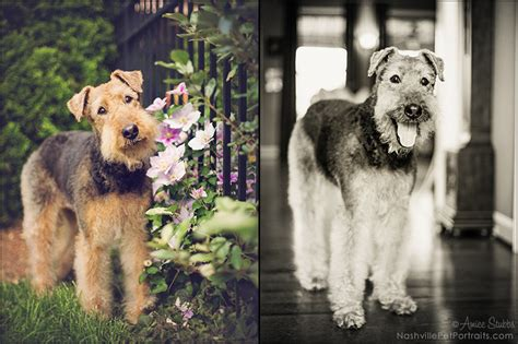amiee stubbs pet photography bailey senior airedale
