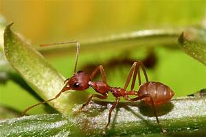 Diagram Of A Red Ant