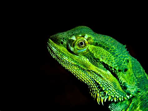 21 bearded dragon hd wallpapers background images wallpaper abyss. Desktop Wallpaper Green Bearded Dragons, Lizard, Muzzle, Hd Image, Picture, Background, R6tmrt