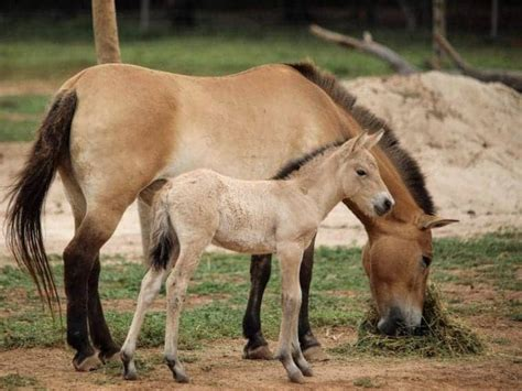 foal horse mongolian wild extinct rare welcomed nearly victoria