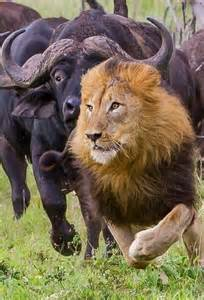 Images of Lion Chasing Animals