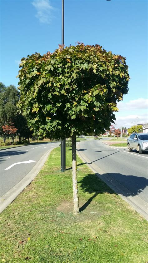 acer platanoides globosum acer platanoides globosum standard maple designer maple blerick tree farm
