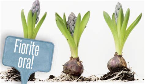bulbi tulipani in vaso bulbi in vaso come forzare la fioritura per avere un