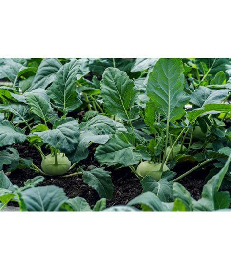 kohlrabi pflanzen kaufen kohlrabi pflanzen kaufen kohlrabi pflanzen so bauen sie das schnell wachsende pflanzenlust