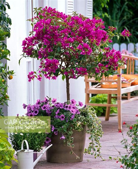 gap gardens bougainvillea standard underplanted with