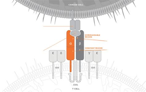 T Cell Receptor Technology (tcrs)