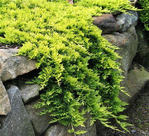 juniperus horizontalis mother lode dwarf golden
