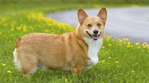 Corgi : Puppies, Rescue, Pictures, Information, Temperament, Characteristics