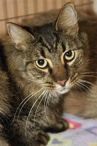 Smokey Bones the Maine Coon Mix (Monkey)'s Web Page
