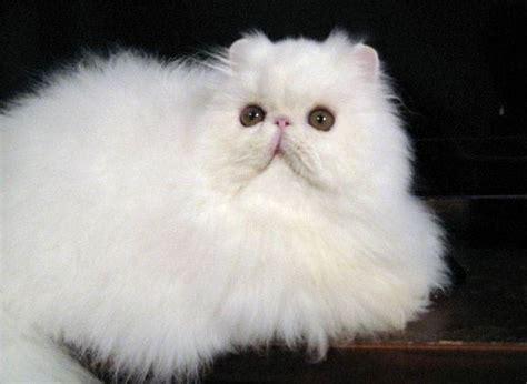 Gatti Persiani Prezzi Gatto Persiano Bianco Pelo Lungo Gatto Persiano Bianco