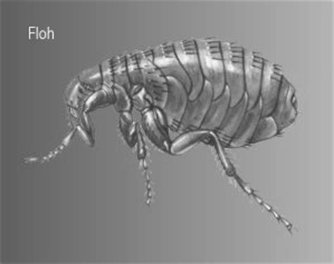 Lange Leben Flöhe Ohne Blut by Insektenfibel Fl 246 He
